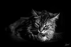 Se rafraîchir. (LACPIXEL) Tags: cat gato chat pet mascota canicule canícula heatwave heat chaleur calor portrait retrato toilette amy amyff noiretblanc blancoynegro blackwhite nikon nikonfr flickr lacpixel refrescarse cooloff