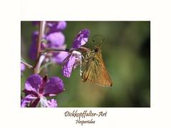Dickkopffalter spec. (ernst.ruhe) Tags: insecta insekten insektenmakroinsektennahaufnahmenp1a1 insektenmakro dickkopffalter schmetterlinge lepidoptera hesperiidae