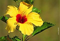 Quinta-flower (sonia furtado) Tags: quintaflower flor flower hibisco soniafurtado