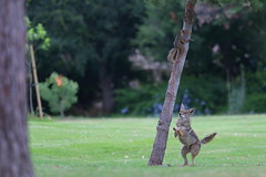 Coyote & squirrel (Phátography 分店) Tags: animal legglake legglakepark california canon canoneos7dmarkii canoneftelephoto200mmf20 outdoor park wildlife