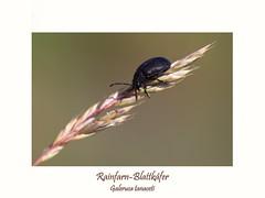 Raifarn-Blattkäfer (ernst.ruhe) Tags: fotosvonernstruhe ernstruhe insekten insecta käfer coleptera blattkäfer rainfarnblattkäfer galerucatanaceti galerucinae