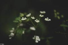 Florecillas (salo75) Tags: catalunya bokeh 105vr28 flores nikon macro baixllobregat nikond5500 santboidellobregat provinciadebarcelona españa