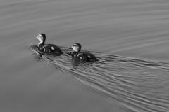 Forward / Вперед (Boris Kukushkin) Tags: duck ducks water bird birds swim diagonal belarus wave waves птица птицы утка утки вода беларусь волны волна
