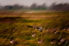 Not such a high-flyer (wardkeijzer_107) Tags: animals geese birds moved painting nikon netherlands polder accidental green zeeland holland 200mm d7200 zoomlense art