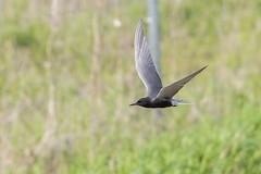 Guifette Noire / Black Tern (ALLAN .JR) Tags: guifettenoire blacktern oiseau bird nature wildlife nikon baiedufebvre