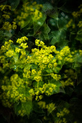 Alchemilla Mollis (judy dean) Tags: judydean 2019 garden alchemicalmollis ladysmantle green texture ivy ps flowers plants