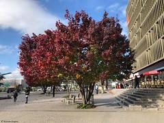 bel-arbre-rouge© (alexandrarougeron) Tags: photo alexandra rougeron arbre paysage urbain ville couleurs vie flickr