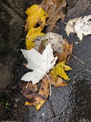 belles-feuilles-au-sol© (alexandrarougeron) Tags: photo alexandra rougeron arbre paysage urbain ville couleurs vie flickr