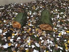 feuilles-et-deux-morceaux-bois© (alexandrarougeron) Tags: photo alexandra rougeron arbre paysage urbain ville couleurs vie flickr