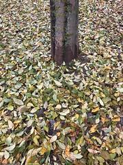 tronc-et-feuilles© (alexandrarougeron) Tags: photo alexandra rougeron arbre paysage urbain ville couleurs vie flickr