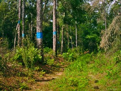 Pine Trees (surfcaster9) Tags: pines trees trail florida forest lumixg7 lumix20mmf17llasph nature outdoors woods