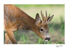 Le brocard à 3 bois (laurence 50100) Tags: animal mammifères chevreuil brocard trois bois