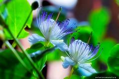 Capperi nella notte (RoLiXiA) Tags: sardegna sardinia sardaigne sardinien cerdeña cappero fiore flower notte night macro nikond90 sigma105