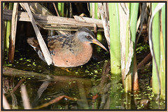 "Virginia rail, slipping through its ""marsh-jungle"". (Ludo (Lone wolf) Bogaert.) Tags: xp"