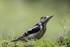 Young Great Spotted Woodpecker (Corine Bliek) Tags: dendrocoposmajor bird birds vogel vogels natuur nature wildlife naturephotography birdphotography woodpeckers