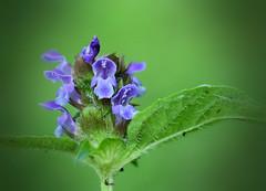Heal All 070 (jmunt) Tags: wildflower weed healall selfheal prunellavulgaris
