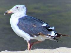 Windy day (thomasgorman1) Tags: gull seagull windy sand shore canon closeup portrait bird seabird mexico baja sea cortez mx nature wildlife