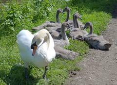 Swan family on the towpath (Tony Worrall) Tags: birds wild wildlife outdoors rspb life natural young swans cygnets swan pathway family preston lancs lancashire city welovethenorth nw northwest north update place location uk england visit area attraction open stream tour country item greatbritain britain english british gb capture buy stock sell sale outside caught photo shoot shot picture captured ilobsterit instragram photosofpreston ashtononribble ashton