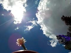 Flor de cactus (Juan Xic Eseyosoyese) Tags: flor de cactus ferocactus ferrocactus bisnaga méxico insecto volador arboles maceta casa flower flowerpic nubes sol reflejo tarde nikon instapic naturaleza florecita rayo clouds flare pino hoy jueves mosca mosquito o algo blanca con amarillo