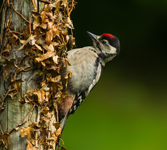 Juvenile Great Spotted Woodpecker ( Dendrocopos major )  - Sitting Pretty !! (Clive Brown 72) Tags: bird wildlife wales forest tree stumps trunk feeding youngster juvenile ivy woodland forestry parkland woodpecker greatspottedwoodpecker