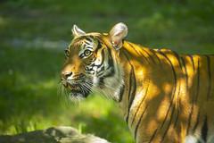Tiger says what (Princess Ruto) Tags: animal tiger orange stripes bronxzoo wildlife foliage green asia