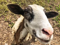 177/365 (moke076) Tags: face animal closeup ga nose sheep working decatur ewe oneaday mobile project cellphone cell photoaday 365 iphone 2019 project365 365project