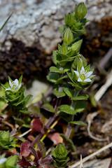 Arenaria serpyllifolia (Thyme-leaved Sandwort) (Hugh Knott) Tags: arenariaserpyllifolia thymeleavedsandwort flora flowers anglesey wales uk caryophyllaceae macro