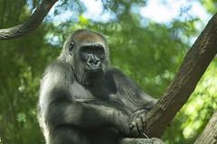 Lowland gorilla (Princess Ruto) Tags: animal gorilla primate gray bronxzoo wildlife foliage green congo africa