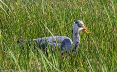 9Q6A3225 (2) - Grey Heron (Alinbidford) Tags: alancurtis cumbria greyheron lakedistrict leightonmoss nationalpark nature rspb wildbirds wildlife