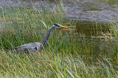 9Q6A3204 (2) - Grey Heron (Alinbidford) Tags: alancurtis cumbria greyheron lakedistrict leightonmoss nationalpark nature rspb wildbirds wildlife