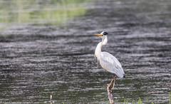 9Q6A2205 (2) Grey Heron (Alinbidford) Tags: alancurtis cumbria greyheron lakedistrict leightonmoss nationalpark nature rspb wildbirds wildlife