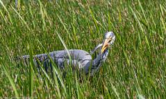 9Q6A3223 (2) - Grey Heron (Alinbidford) Tags: alancurtis cumbria greyheron lakedistrict leightonmoss nationalpark nature rspb wildbirds wildlife