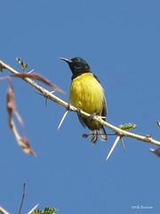 Collared Sunbird Hedydipna collaris djamdjamensis (nik.borrow) Tags: bird sunbird dawariver