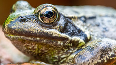 Frog (drelliott0net) Tags: oanura frog kanimalia camphibia franidae grana stemporaria amphibia anura europeancommonfrog rana ranatemporaria ranidae amphibian commonfrog pondfrog