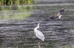 9Q6A2206 (2) - Grey Heron and Lapwing (Alinbidford) Tags: alancurtis cumbria greyheron lakedistrict lapwing leightonmoss nationalpark nature rspb wildbirds wildlife
