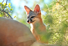 What's that (Monkeystyle3000) Tags: gray fox kit wildlife desrt animal nevada