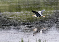 9Q6A2194 (2) - Grey Heron (Alinbidford) Tags: alancurtis cumbria greyheron lakedistrict leightonmoss nationalpark nature rspb wildbirds wildlife