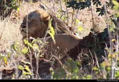 Lion, Chobe NP, Botswana (JH_1982) Tags: lion löwe felidae panthera leo león leeuw 狮 ライオン 사자 лев أسد predator raubtier animal wildlife nature tier natur chobe np national park nationalpark pn parque parc nacional 喬貝國家公園 チョベ国立公園 चोबे नेशनल पार्क botswana botsuana 波札那 ボツワナ 보츠와나 ботсвана