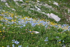 Alpine meadow Lago-Naki July 2018 (Aidehua2013) Tags: alpine meadow myosotis ranunculus lagonaki maikopdistrict adygea caucasus russia