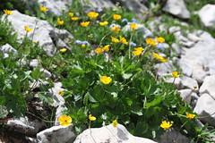 Ranunculus sp., Lago-Naki July 2018 (Aidehua2013) Tags: ranunculus ranunculaceae ranunculales plant flower lagonaki maikopdistrict adygea caucasus russia