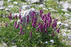 Hedysarum caucasicum Lago-Naki July 2018 (Aidehua2013) Tags: hedysarum caucasicum fabaceae fabales plant flower lagonaki maikopdistrict adygea caucasus russia
