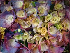 Hydrangea Dream 1 (done by deb) Tags: deepdreamgenerator digitalflowerpainting digitalart digitalpainting vividcolor brightcolors hydrangeas