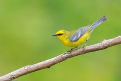 CA3I2752-Blue-winged Warbler (tfells) Tags: bluewingedwarbler bird nature wildlife passerine songbird newjersey baldpatemountain mercer