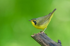Kentucky Warbler (Joe Branco) Tags: green ontario canada macro bird nature grass birds branco photoshop joe wildlifephotographer lightroom kentuckywarbler nikond850 joebrancophotographer