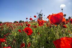 North East England secretly beautiful (alderson.yvonne) Tags: windmill yvonne yvonnealderson northeastengland northeast nikon poppy poppies wild wildflowers flowers summer june