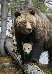815 with Her 3 COY (Rob Kroenert) Tags: grizzly bear sow mini mom yellowstone yellowstonenationalpark wyoming cubs coy nature wildlife animals wild national park