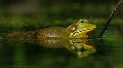 emerald green and gold (don.white55 That's wild...) Tags: donpwhitephotography donwhite frog herp amphibian emeraldgreen canoneos70d tamronsp150600mmf563divcusda011 thatswildnaturephotography harrisburgpennsylvania pennsylvaniawildlife wildwoodlake wildwoodpark wildwoodnaturepreserve swamp eye 150600mm lens reflection waterreflection yelloweye lowangle fantasticnature ngc coth coth5 100faves 100comments green americanbullfroglithobatescatesbeianusorranacatesbeiana