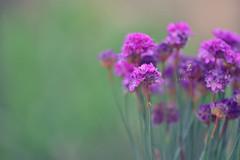 Ballerina lilac armeria (Zara Calista) Tags: ballerina lilac armeria flower blur bokeh nikon purple summer san diego california wild