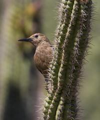 Gila Woodpecker (AllHarts) Tags: gilawoodpecker desertbotanicalgarden phoenixaz alittlebeauty naturesspirit thesunshinegroup eblouissantenaturebrilliantnature avianexcellence ~♥~cherishyourdreamsandvisions~♥~ coth coth5