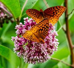 On the Ball (Portraying Life, LLC) Tags: dbg6 da3004 hd14tc k1 michigan pentax unitedstates butterfly closecrop handheld nativelighting fritillary milkweed feeding